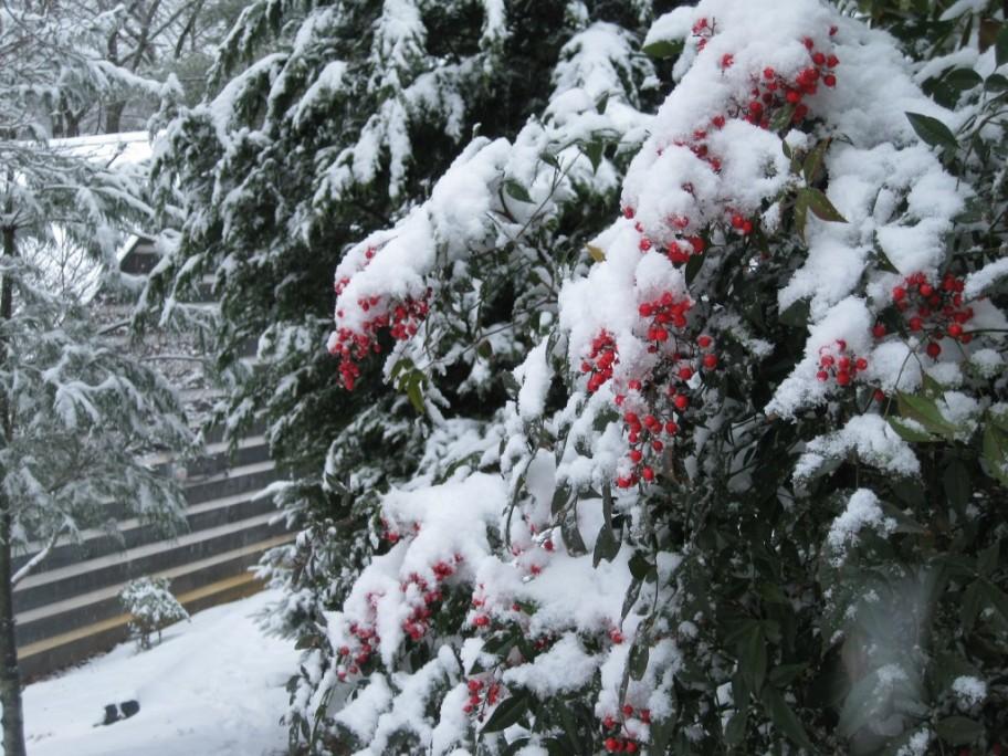 Snowed covered berries